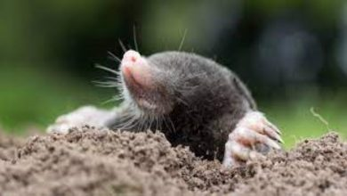 Photo of 6 Surprising Facts about Moles