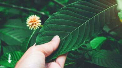Photo of Advantages of Red Bali kratom along with its positive effects on the human immune system